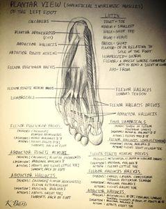 Left Foot (Musculature)