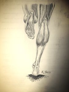 Lower Leg and Foot (Musculature) - K Bass Art