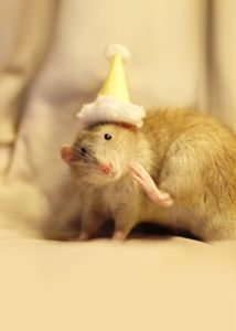 Dumbo Rats and Party Hats