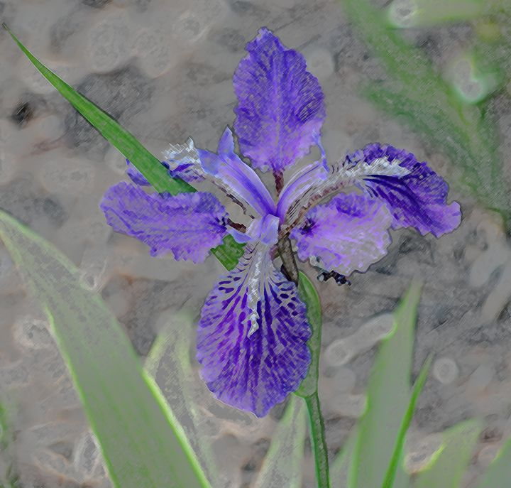 Iris - Don Wright Fine Art & Photoraphy