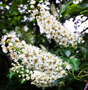 Laurel Tree's flowers