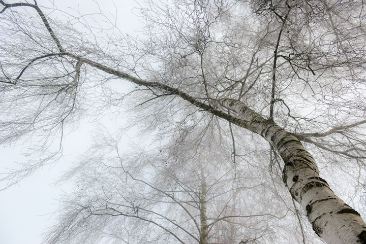 winter birch - hannes cmarits photography