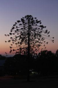 Bunya Tree