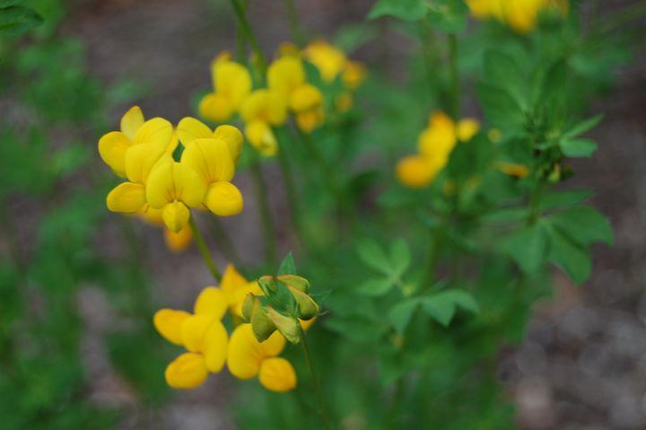 Yellow Flowers - Dante's Photography
