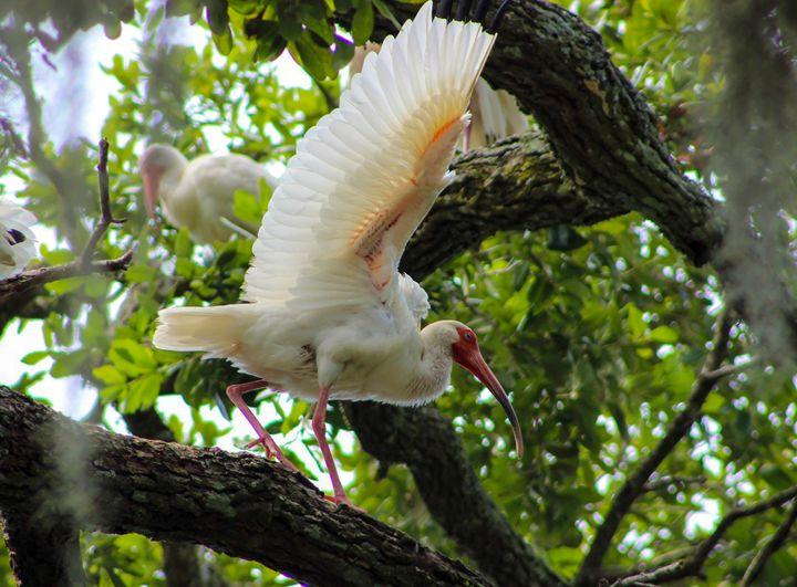 White Ibis - Randall Messina