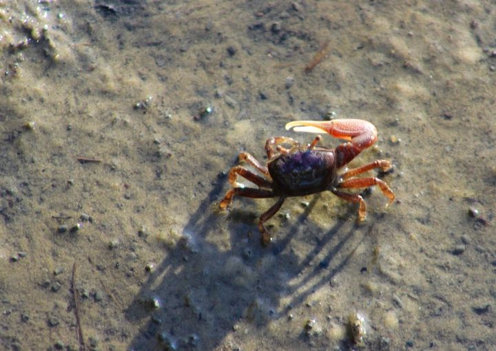 Fiddler Crab - Randall Messina