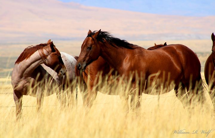 Horses in the Grass - Out Doors With Wolf