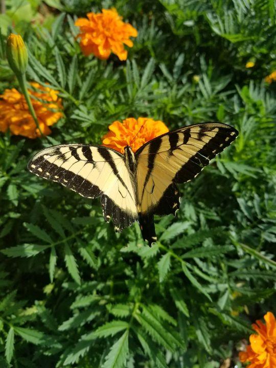 Tiger Swallowtail - Dawn Renee