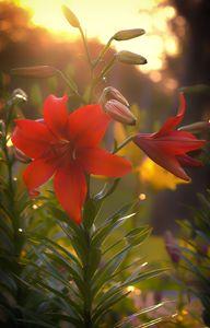 Sunset Lilies - Miguel Martinez