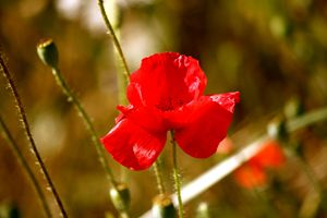 Summertime Poppy