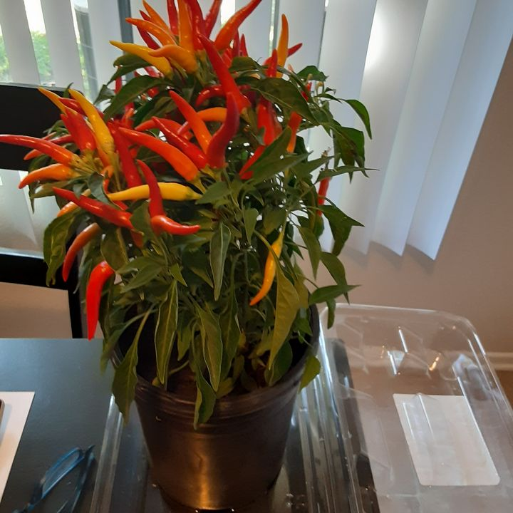 Hot peppers - jims art