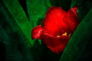 Red Tulip - digimatic