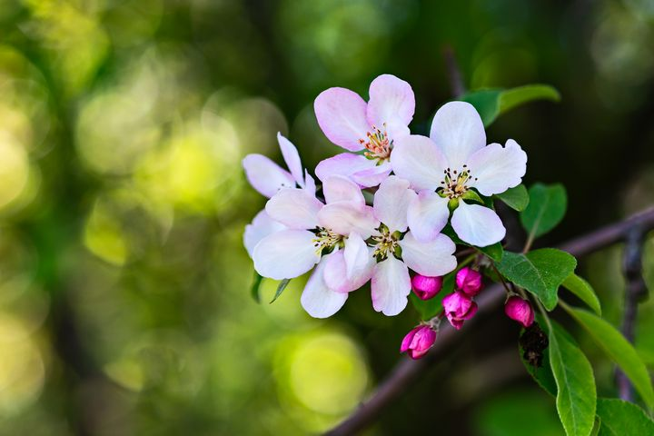Beautiful Crab Apple Flowers photo - digimatic