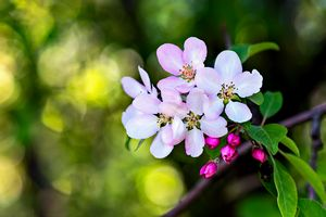 Beautiful Crab Apple Flowers - digimatic