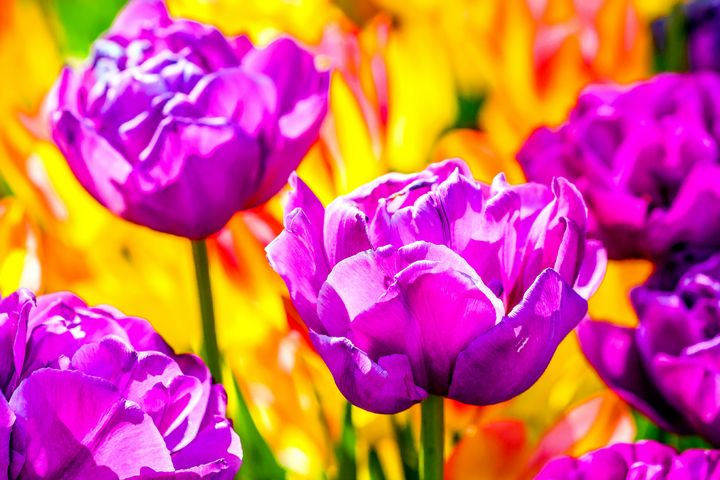 Violet Tulips On Yellow - digimatic
