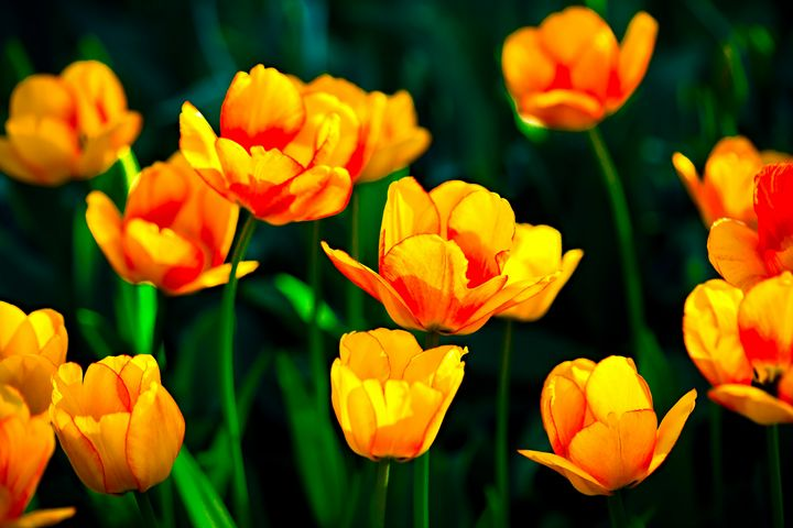 Yellow-Orange Tulip Flowers - digimatic