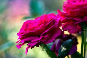 Beautiful Rose Flowers - digimatic