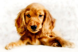 Cute Coloured Cocker Spaniel Puppy
