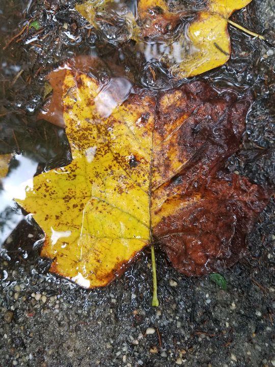 Puddle Leaf! - The Massaro Experience