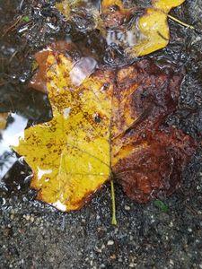 Puddle Leaf!