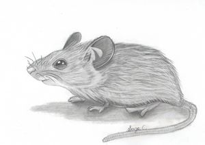 Mouse Realistic Drawing - Sage C.