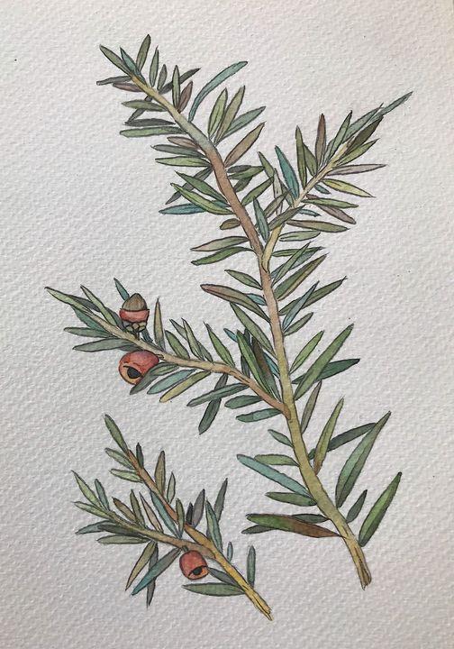 European yew - XVII