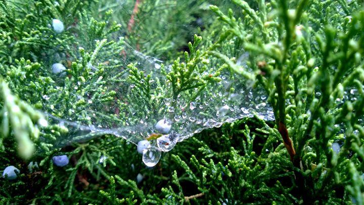 Dew-Covered Web - Assassicactus