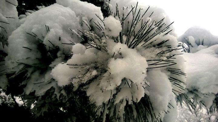 Snowy Pine Needles - Assassicactus