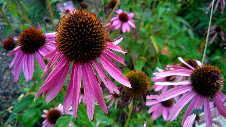 Pink Flowers - Assassicactus
