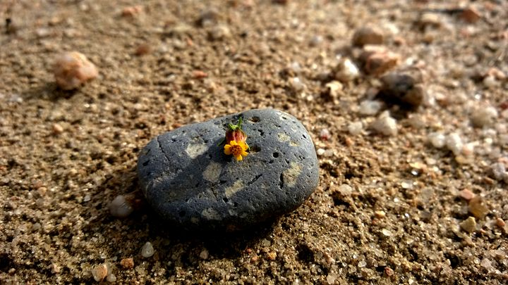 Tiny Flower On A Rock - Assassicactus