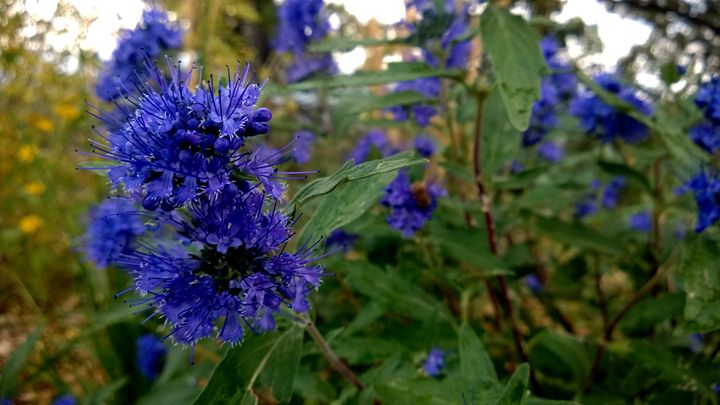 Blue Eyelash Flowers - Assassicactus