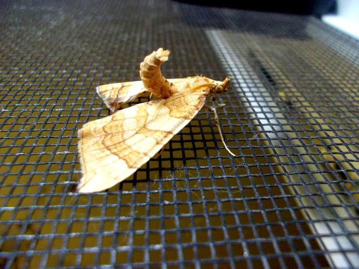 Curled Moth - Assassicactus