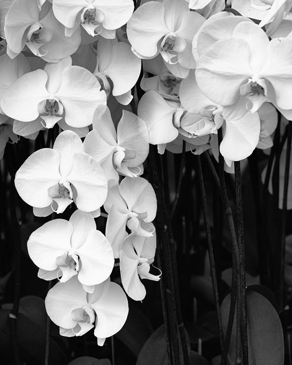 BELL ORCHIDS - WDPS Gallery