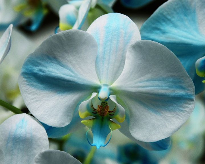 BLUE BOW ORCHID - WDPS Gallery