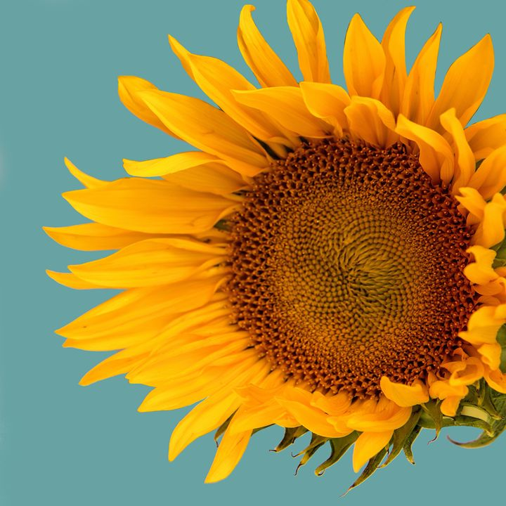 ONE SUNFLOWER Tournesol - WDPS Gallery