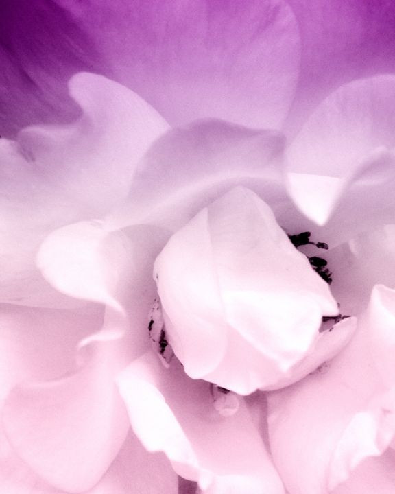 PALE ROSE - WDPS Gallery