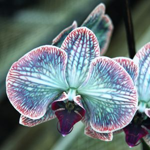 FESTIVE ORCHID - WDPS Gallery