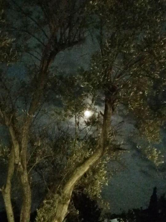 Our olive tree at night - Pakokante