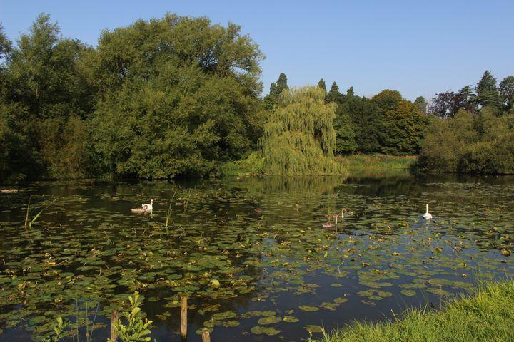 Ducks & Swans on the Pond, - Bex Art