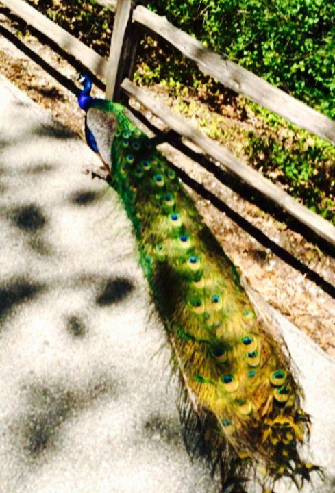 Pretty Peacock - GStack