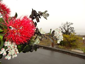 Beautiful blossom of Maui