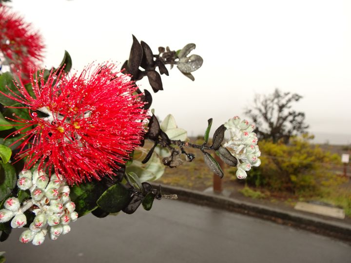 Beautiful blossom of Maui - Ella's art