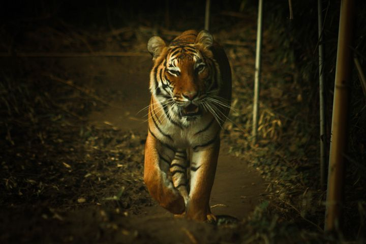 Approaching Tiger - 5 Realms Photography