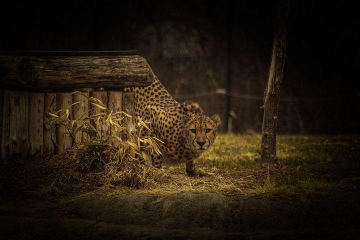 Curious Cheetah - 5 Realms Photography