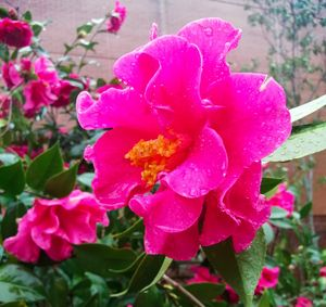 Water Droplets on Pink and a Split