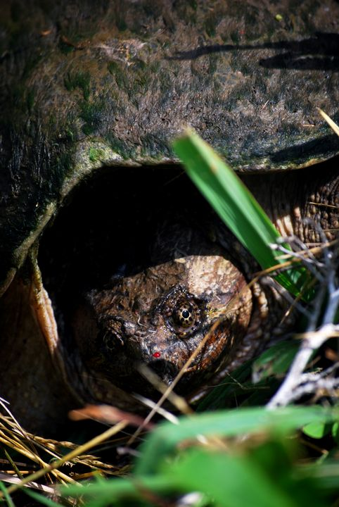 Snapping Turtle - Aaron Zaremsky's Photography