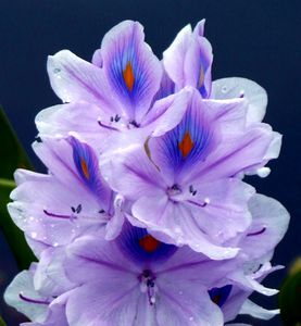 Hyacinth Up Close