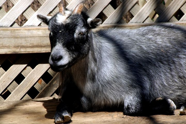 Goat on a Bench - My Favorite Photography