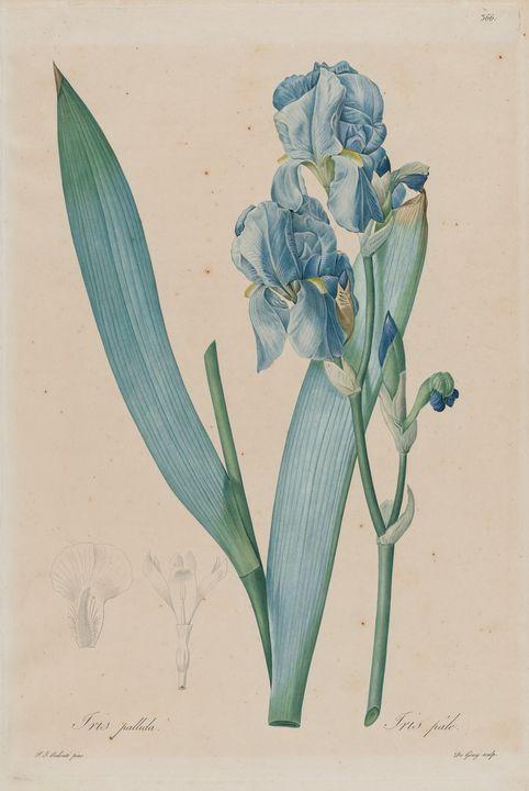 Pierre Joseph Redoute~Dalmatian Iris - Treasury Classic