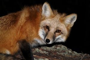 Red Fox at Night